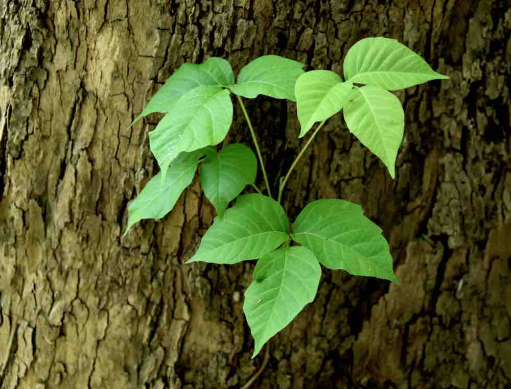 Poison ivy grows on the trunk of a tree.