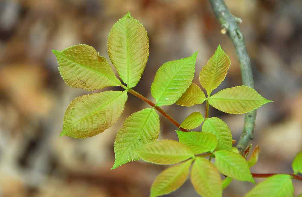 Essential oils for poison ivy aren't as effective and simply avoiding the poisonous plant.