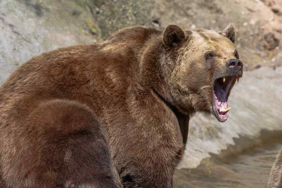 How to survive a bear attack: Angry Bear