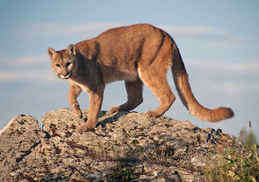 How To Survive A Mountain Lion Attack: Mountain Lion in Montana