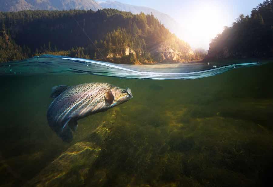 Trout underwater.